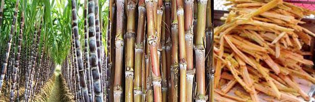 กากอ้อย เป็นชีวมวลที่ได้จากโรงงานน้ำตาล
