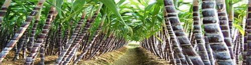 บริษัท สงขลา ไบโอแมส จำกัด กากอ้อย เป็นชีวมวลที่ได้จากโรงงานน้ำตาล